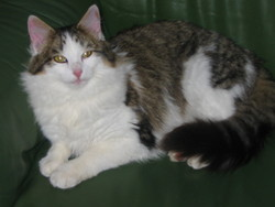 Galipette, chat Européen
