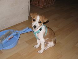 Galipette, chien Jack Russell Terrier