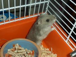 Galipette , rongeur Hamster