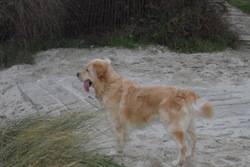 Galipette, chien Golden Retriever