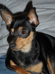 Galipette, chien Pinscher