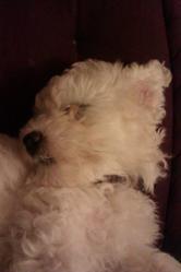 Galipette, chien Bichon à poil frisé