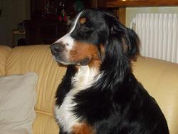 Galipette, chien Bouvier bernois