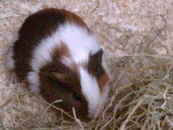 Galipette, rongeur Cochon d'Inde