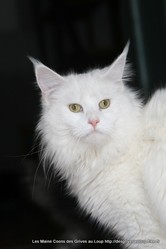 Galipette P, chat Maine Coon