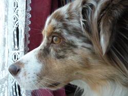 Galla, chien Berger australien