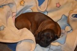 Galla, chien Chien rouge de Bavière