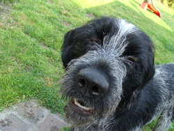 Gallac, chien Griffon à poil dur Korthals