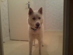 Gallak, chien Husky sibérien