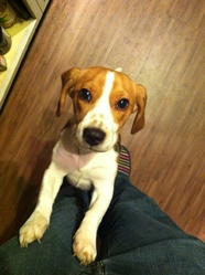 Gally, chien Beagle
