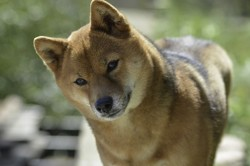 Gally, chien Shiba Inu
