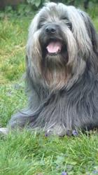 Galopin, chien Berger des Pyrénées