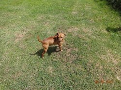 Galopin, chien Pinscher
