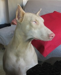 Galou, chien Dobermann