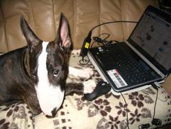 Galou, chien Bull Terrier