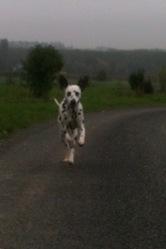 Galshan, chien Dalmatien