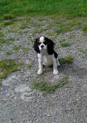 Galys, chien Cavalier King Charles Spaniel