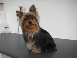 Galys, chien Yorkshire Terrier