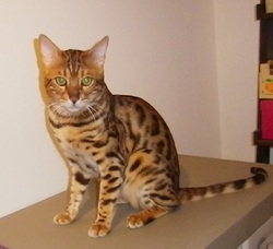Gambo, chat Bengal