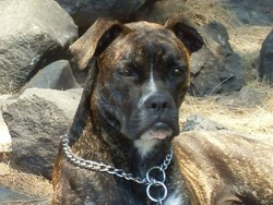 Gamede, chien Boxer