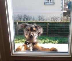 Gameiro, chien Yorkshire Terrier