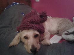 Gamelle, chien Basset fauve de Bretagne