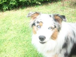 Gamin, chien Berger australien