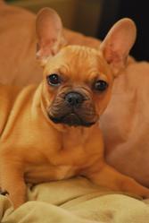 Gamin, chien Bouledogue français
