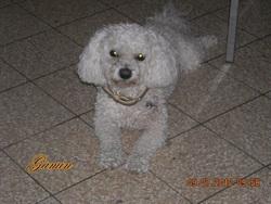 Gamin, chien Bichon à poil frisé