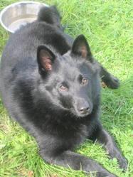 Gamin, chien Schipperke