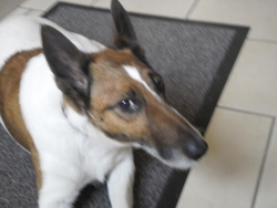Gamin, chien Fox-Terrier