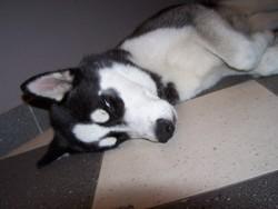 Gamin, chien Husky sibérien
