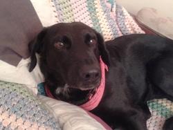 Gamin, chien Labrador Retriever