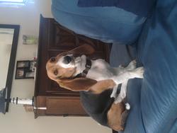 Gamin, chien Basset artésien normand