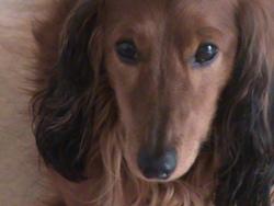 Gamin, chien Teckel