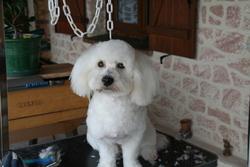 Gamin, chien Coton de Tuléar