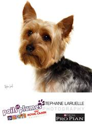 Gamin, chien Yorkshire Terrier