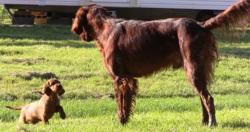 Gamin, chien Setter irlandais