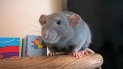 Gamin, rongeur Rat