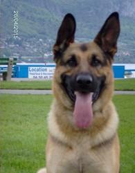 Gamin, chien Berger allemand