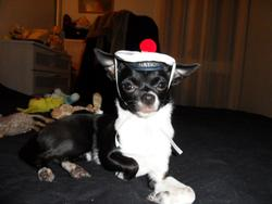 Gamine, chien Chihuahua