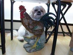 Gamine, chien Shih Tzu