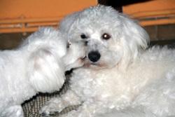 Gamine Chienne Savant , chien Coton de Tuléar