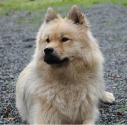 Gamine Des Légendes De Retz, chien Eurasier