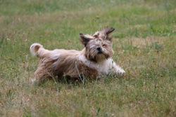 Gampo, chien Shih Tzu
