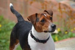 Gamyn, chien Jack Russell Terrier