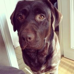 Ganache, chien Labrador Retriever