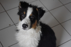 Ganache, chien Berger australien