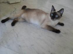 Ganache, chat Thaï