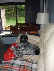 Ganack, chien Braque d'Auvergne